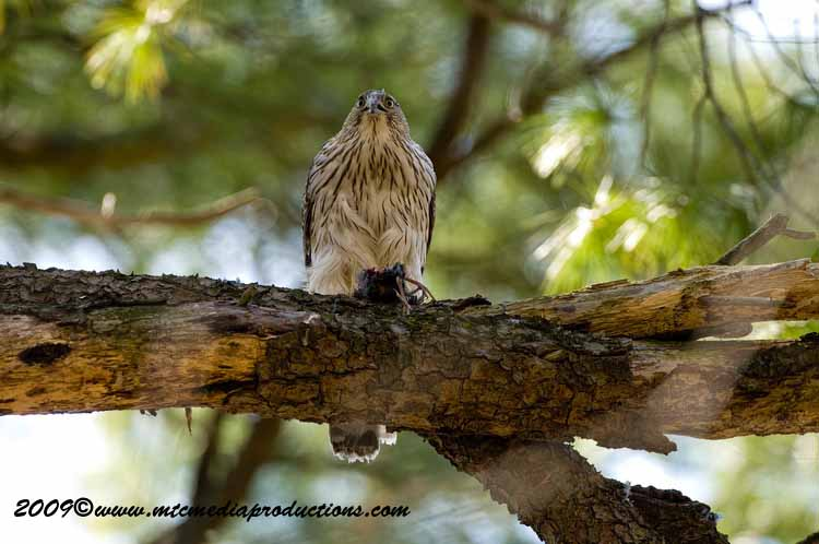 Coopers Hawk Picture-49