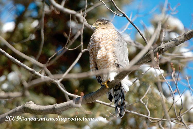Coopers Hawk Picture-05