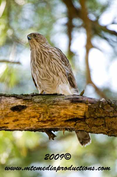 Coopers Hawk Picture-53