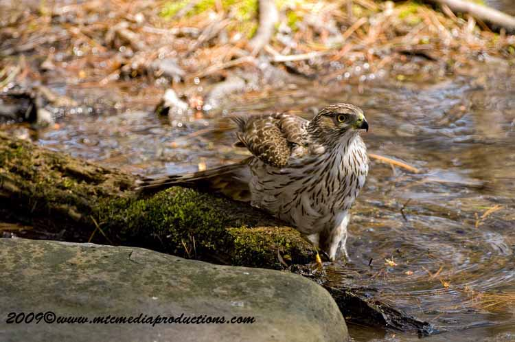 Coopers Hawk Picture-55