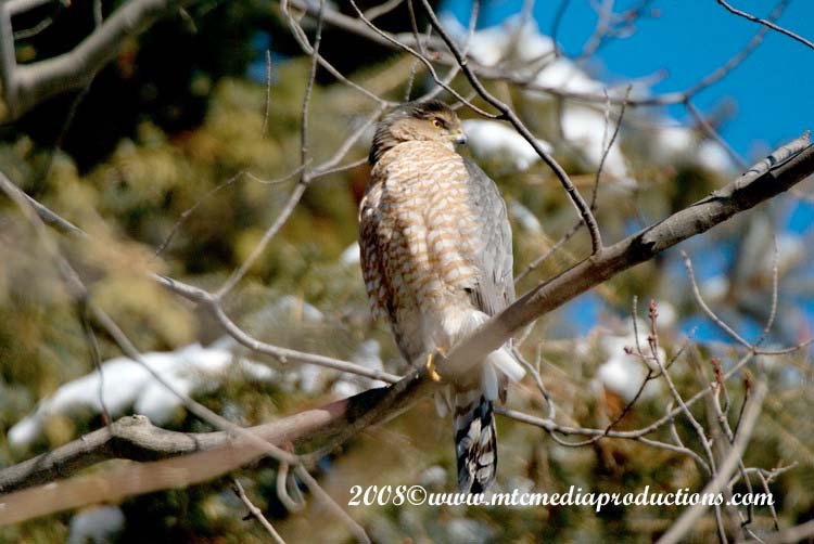 Coopers Hawk Picture-06