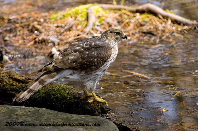 Coopers Hawk Picture-61