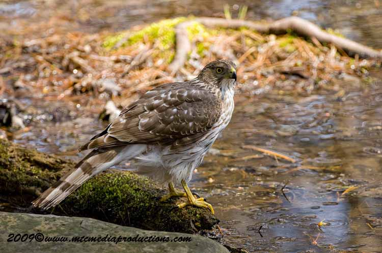 Coopers Hawk Picture-62