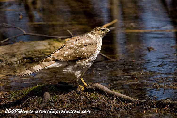 Coopers Hawk Picture-64