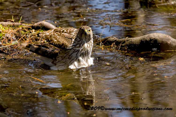 Coopers Hawk Picture-66