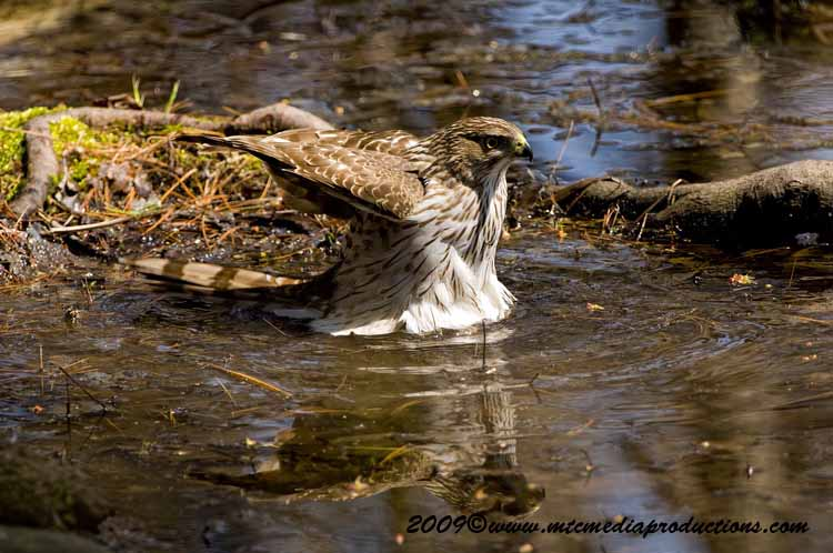 Coopers Hawk Picture-67