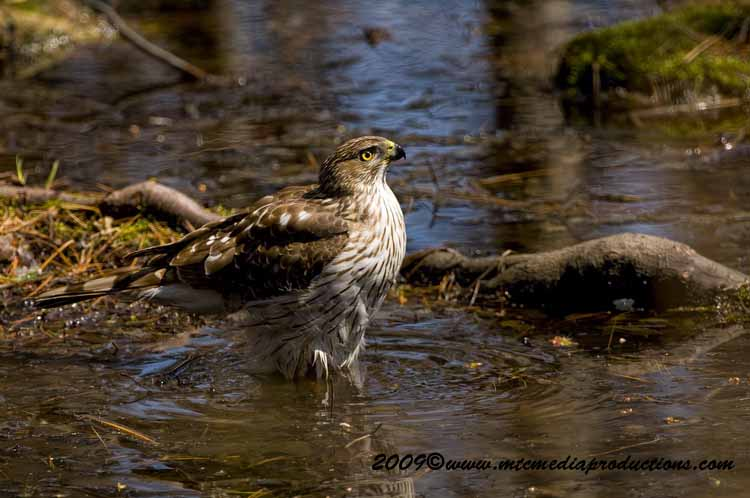 Coopers Hawk Picture-68