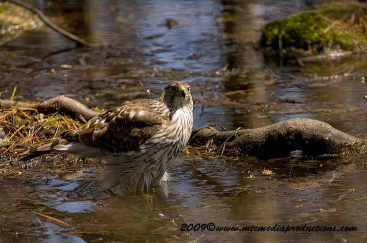 Coopers Hawk Picture-69