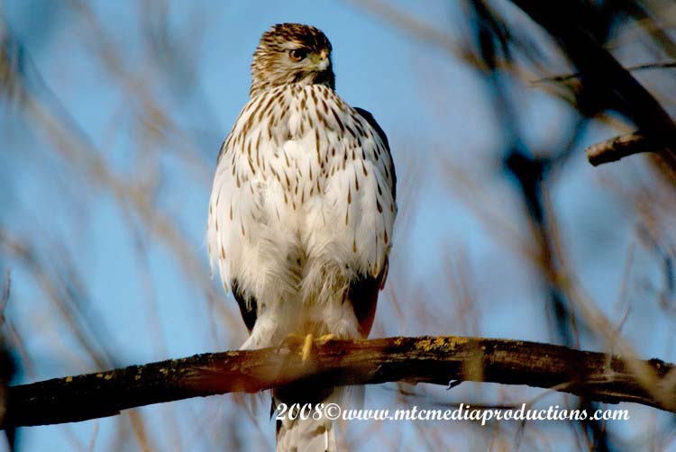 Coopers Hawk Picture-07