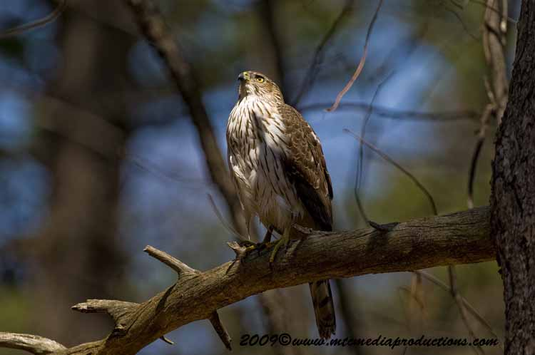 Coopers Hawk Picture-71