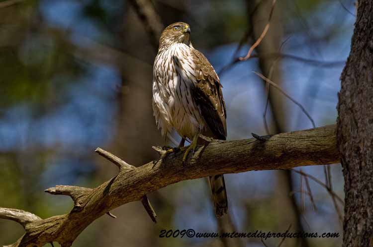 Coopers Hawk Picture-72