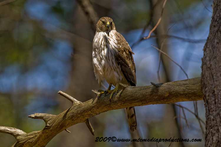 Coopers Hawk Picture-73