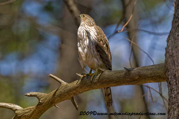 Coopers Hawk Picture-74