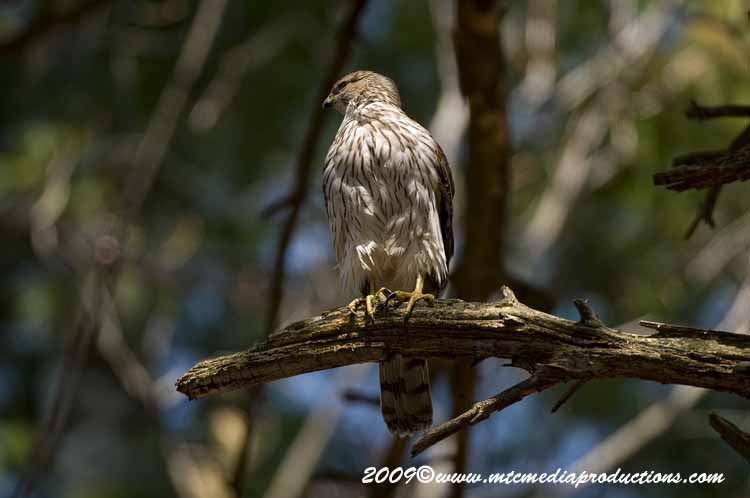 Coopers Hawk Picture-76