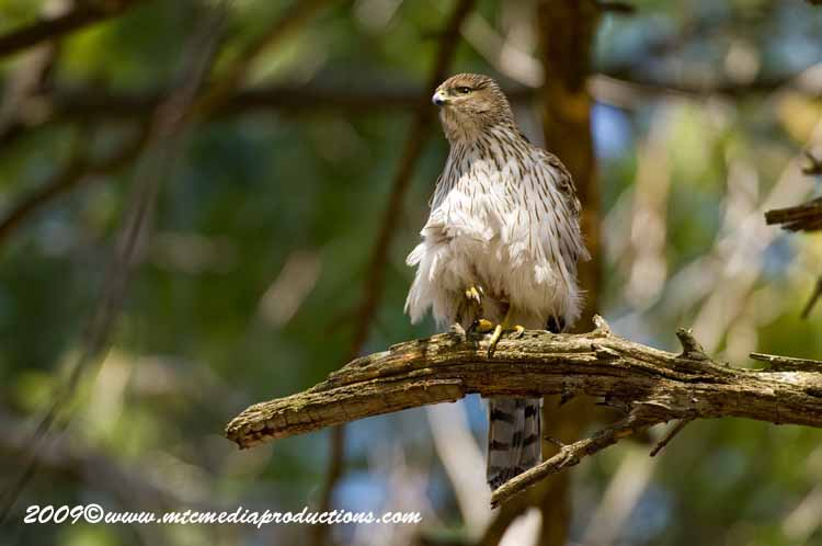 Coopers Hawk Picture-78