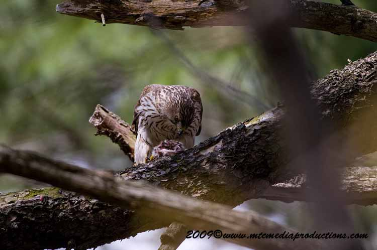 Coopers Hawk Picture-79