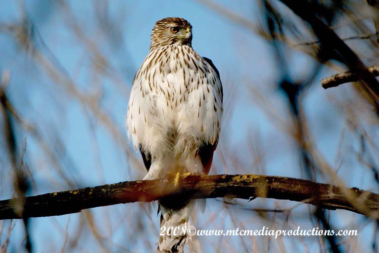 Coopers Hawk Picture-08