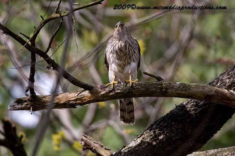 Coopers Hawk Picture-83