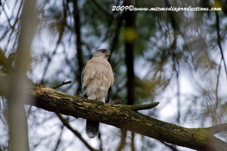 Coopers Hawk Picture-84