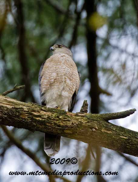 Coopers Hawk Picture-85