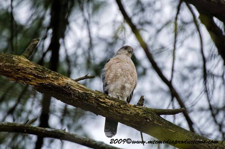 Coopers Hawk Picture-86
