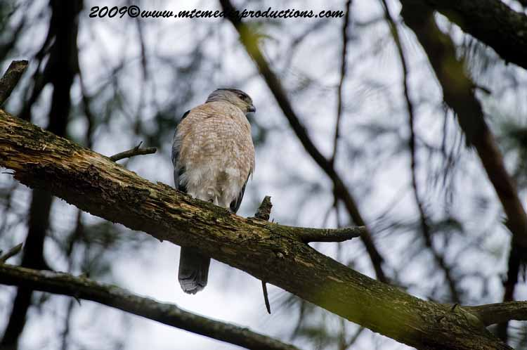 Coopers Hawk Picture-87