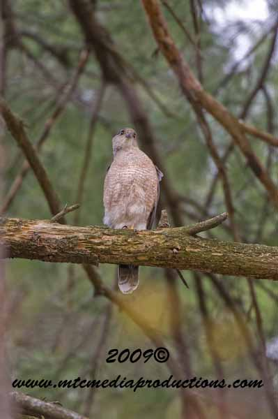 Coopers Hawk Picture-89