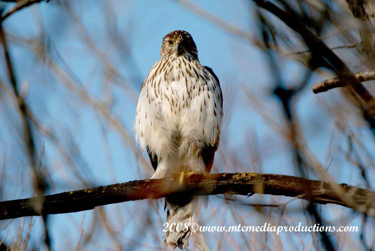 Coopers Hawk Picture-09