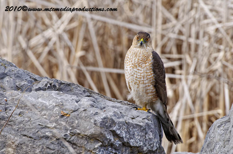 Coopers Hawk Picture-90