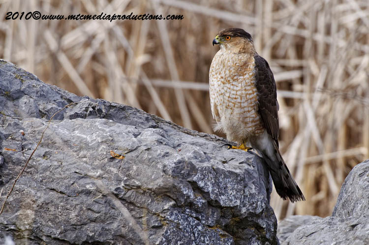 Coopers Hawk Picture-91