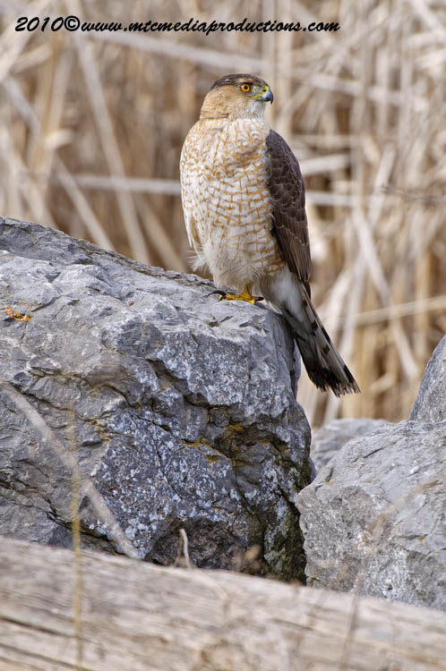 Coopers Hawk Picture-92