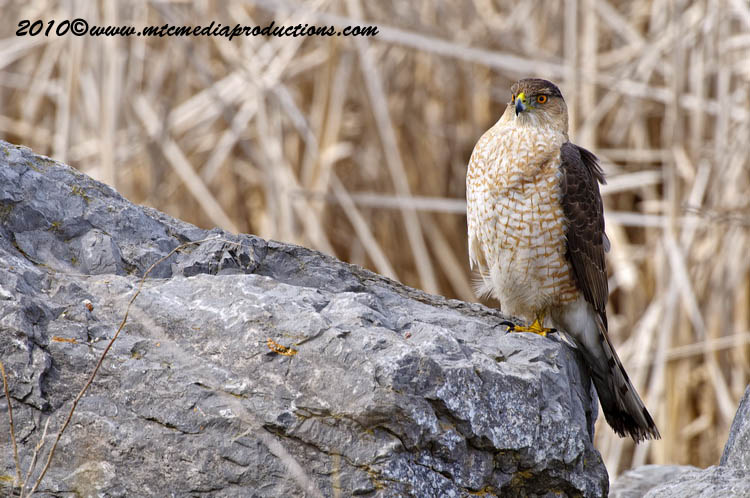 Coopers Hawk Picture-96