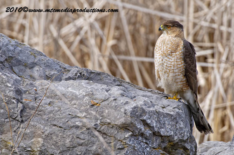 Coopers Hawk Picture-97
