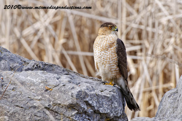 Coopers Hawk Picture-98