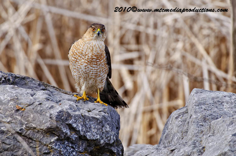 Coopers Hawk Picture-99