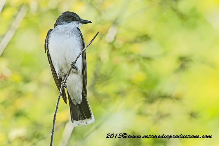 Eastern Kingbird Picture