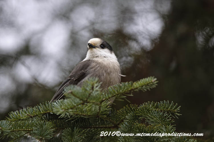 Gray Jay Picture-102