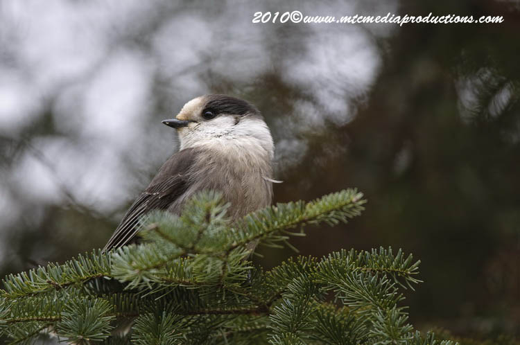 Gray Jay Picture-103