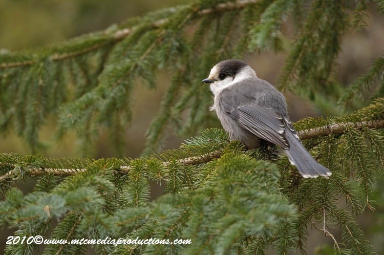 Gray Jay Picture-104