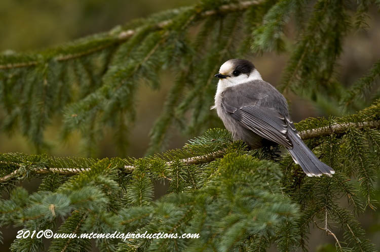Gray Jay Picture-105