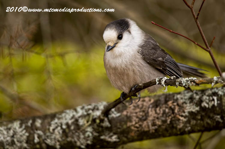 Gray Jay Picture-107