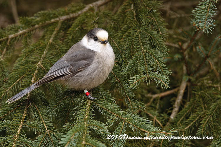 Gray Jay Picture-108
