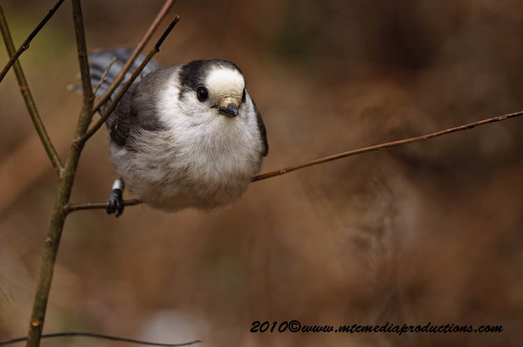 Gray Jay Picture-109