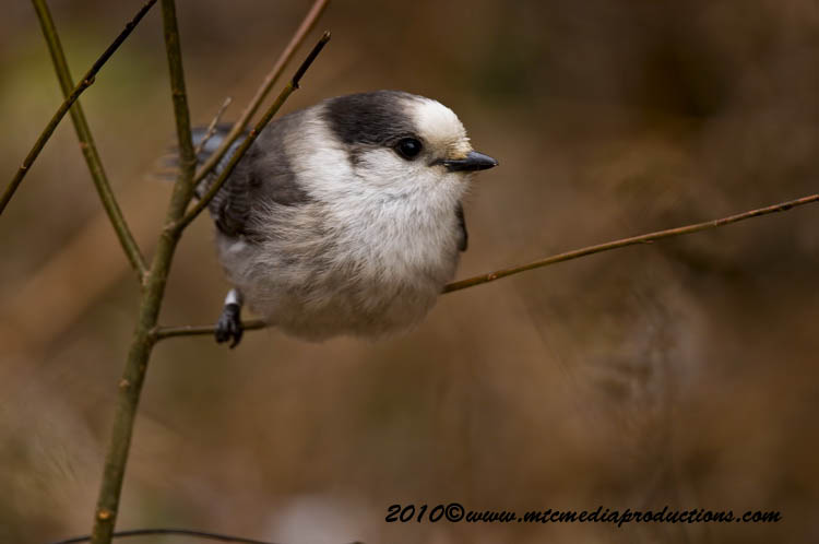 Gray Jay Picture-110