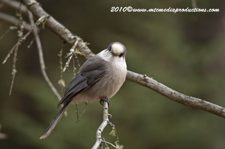 Gray Jay Picture-111