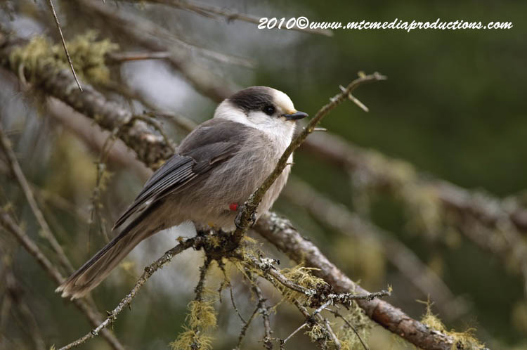 Gray Jay Picture-112