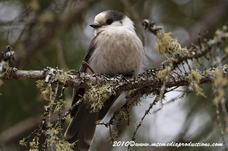 Gray Jay Picture-113