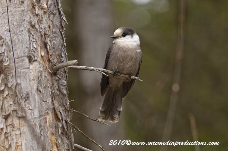 Gray Jay Picture-114