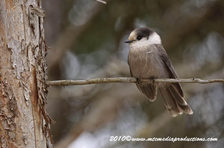 Gray Jay Picture-115