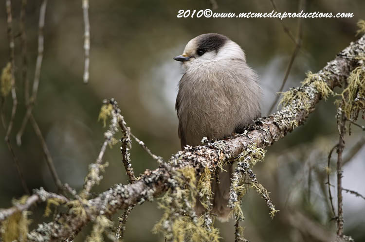 Gray Jay Picture-116